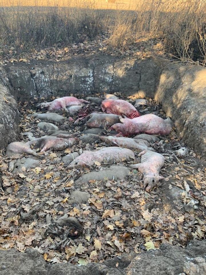 На Жашківщини господарники скинули десятки трупів свиней в лісосмузі (ФОТО)
