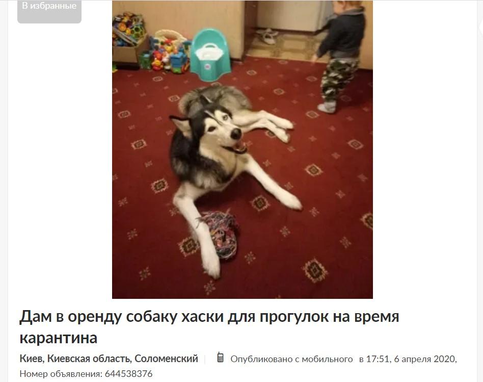 собака в оренду