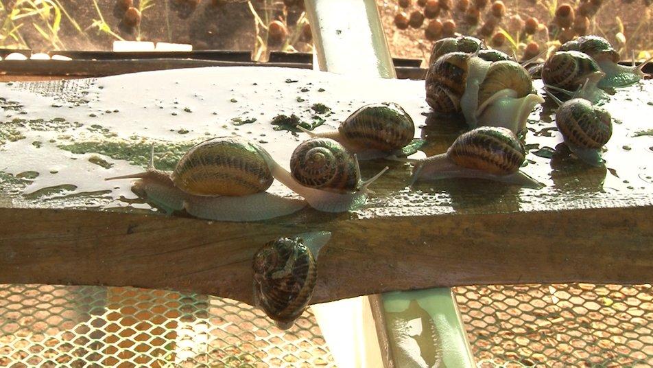 На Черкащині жінка вирощує молюсків (ВІДЕО)