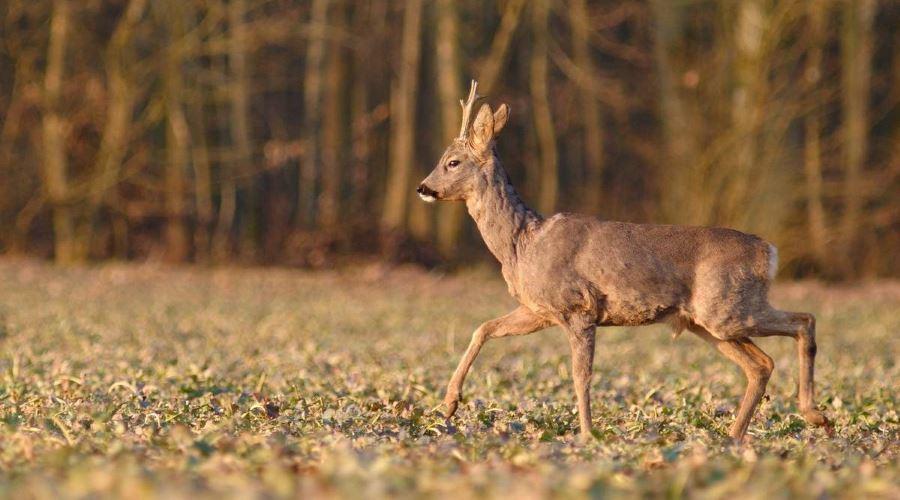 На Черкащині рахуватимуть мисливських тварин