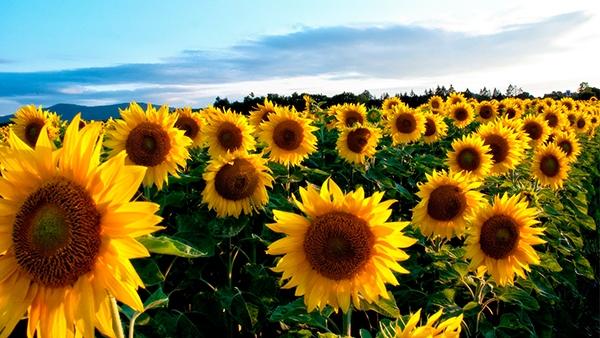 Урожай соняшника на Черкащині може бути рекордним