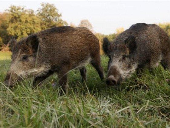 Жителі трьох черкаських сіл страждають від диких свиней